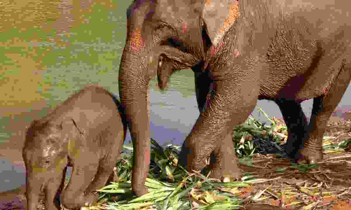 Elephants in Laos (Dreamstime)
