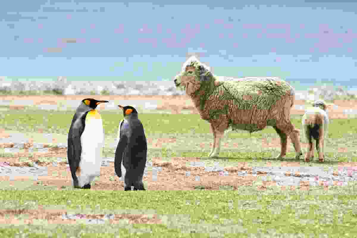 Emperor penguins and sheep at Volunteer Point, The Falklands (Graeme Green)