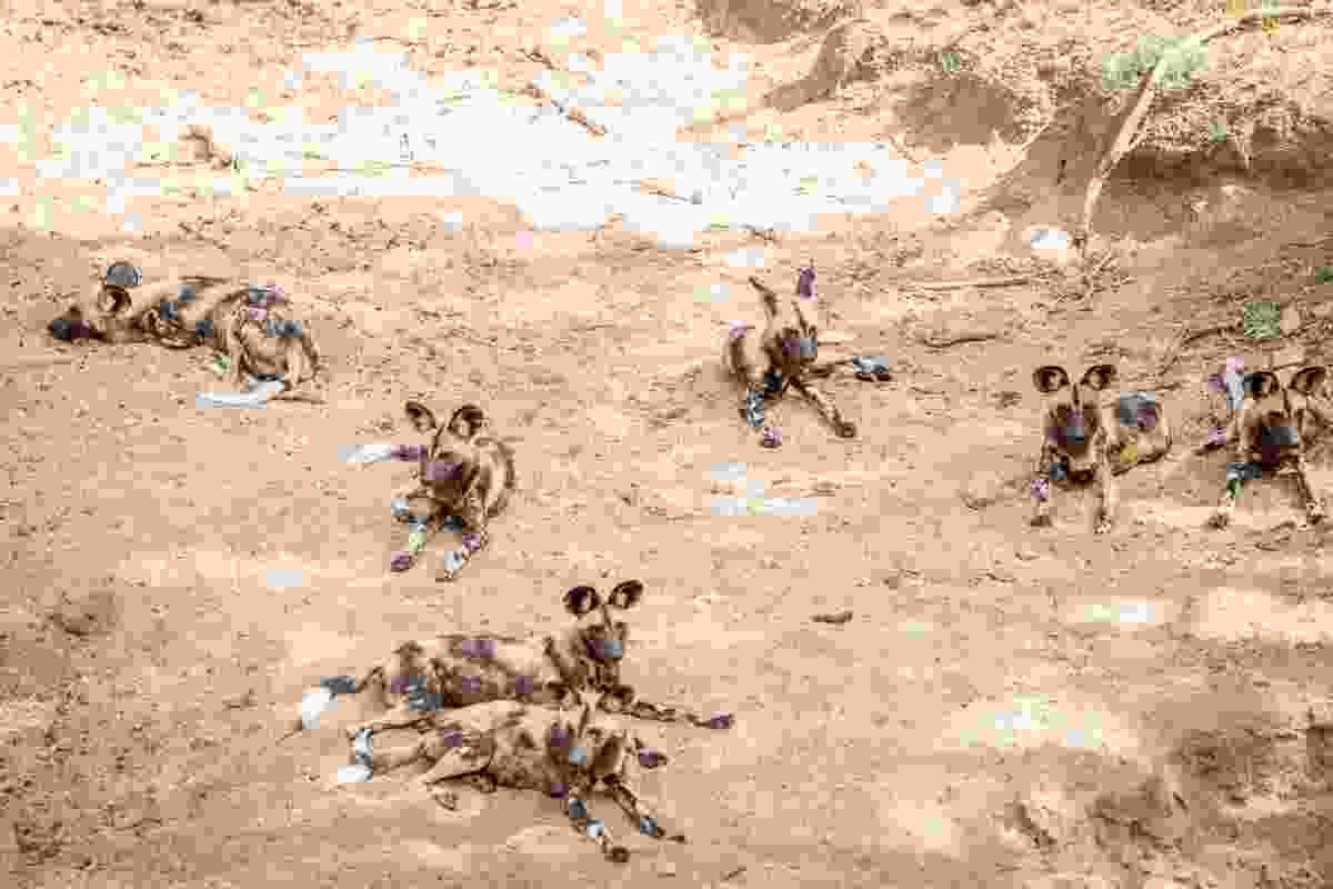 Wild dogs resting in Kruger National Park, South Africa (Dreamstime)