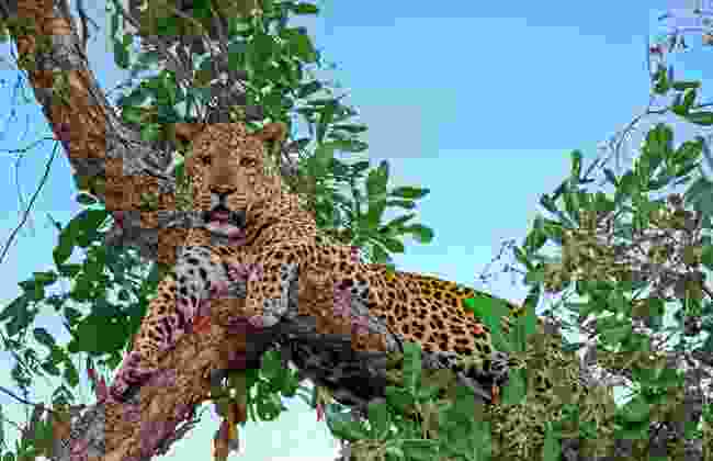 Just chilling - leopards are often spotted high up in trees. At South Luangwa National Park, Zambia (Dreamstime)