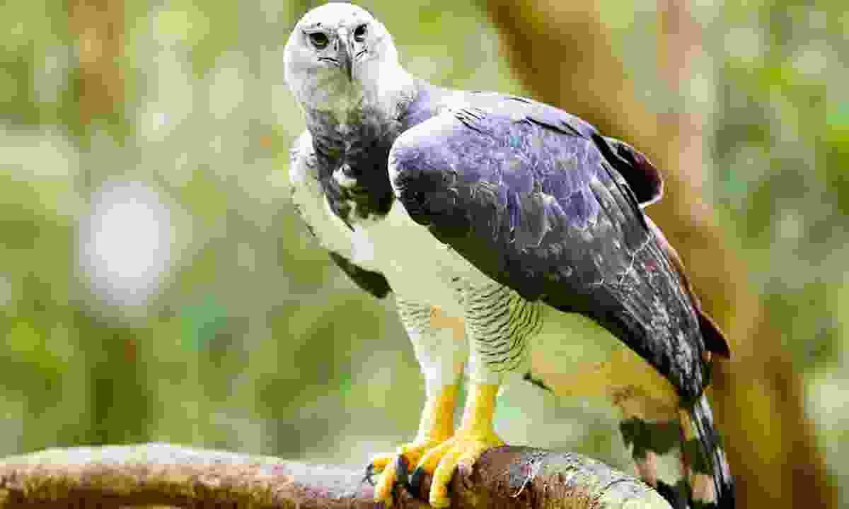 A majestic harpy eagle (Shutterstock)