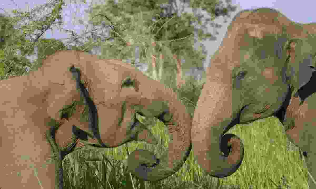 Elephants fighting (Gehan de Silva Wijeyeratne)