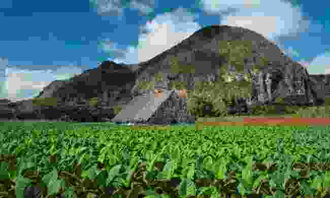 The tobacco fields of the Viñales Valley stretched on and on, while the scent of then up close was almost overpowering (Claire Boobbyer)