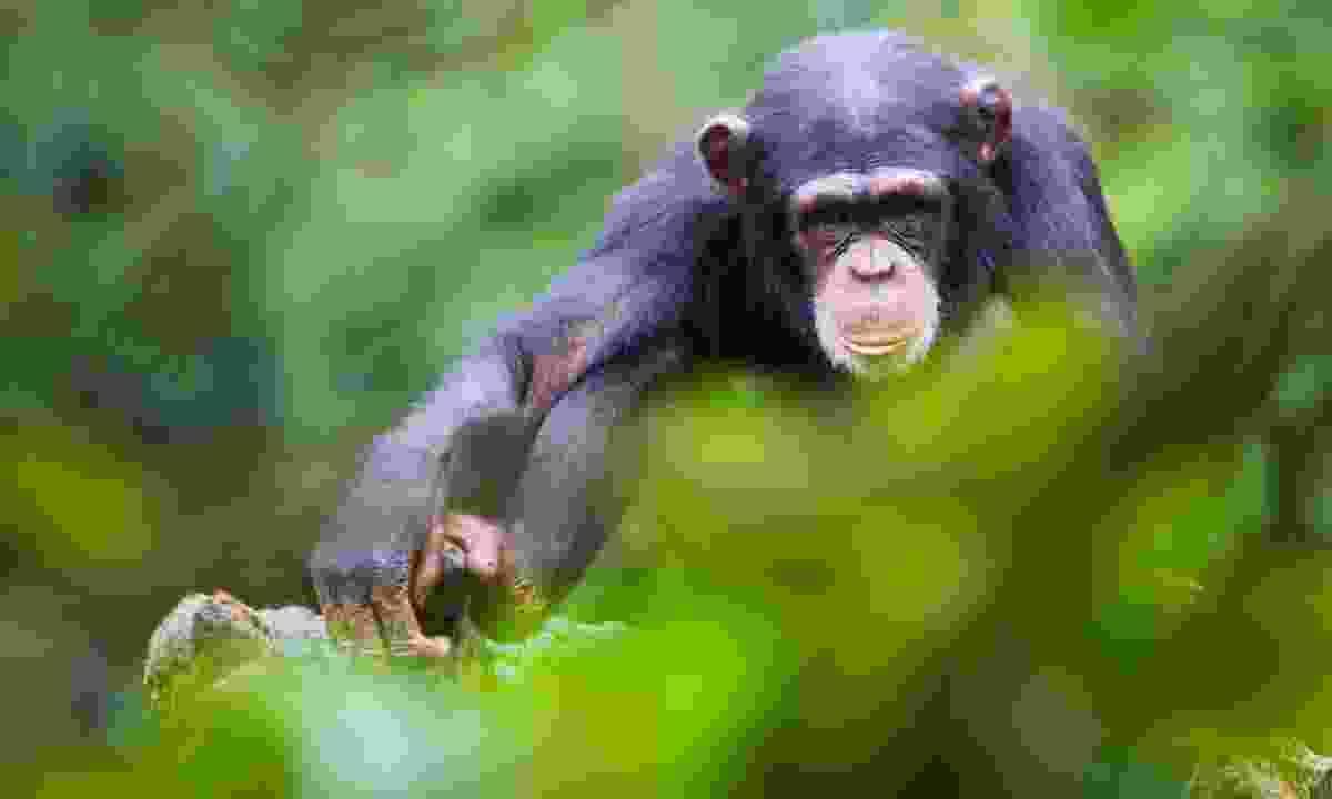 A chimpanzee in Sierra Leone (Shutterstock)