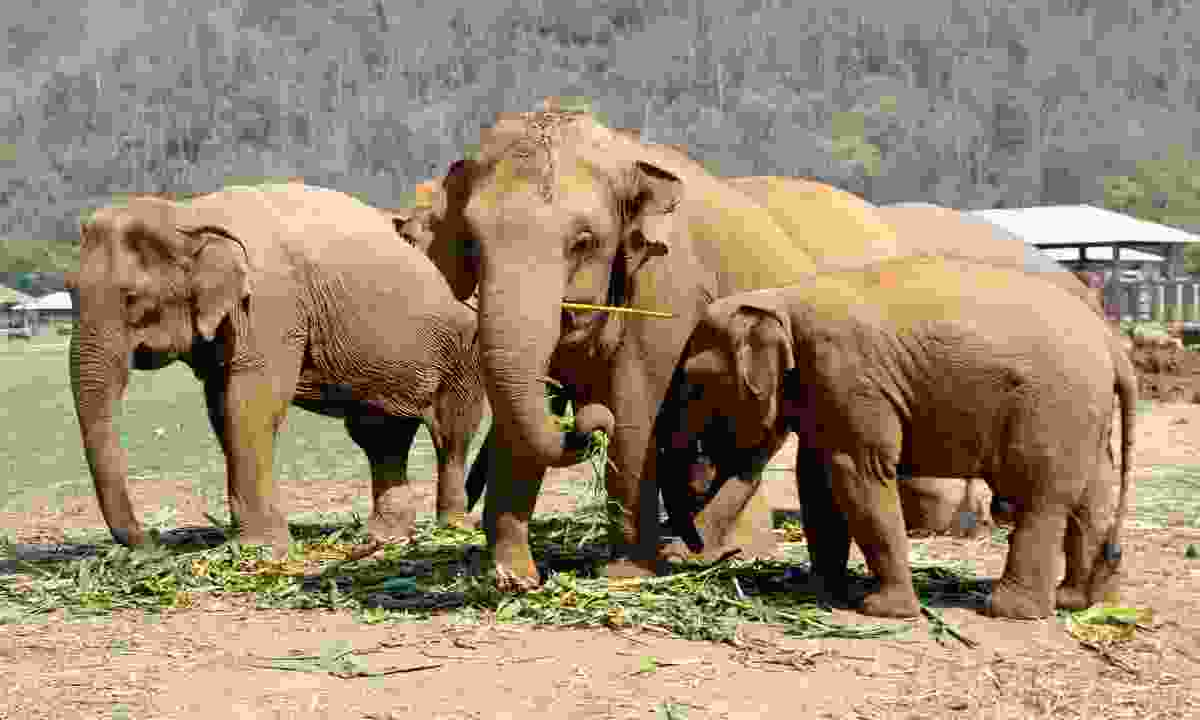 Elephants in Thailand Elephant Nature Park (Dreamstime)