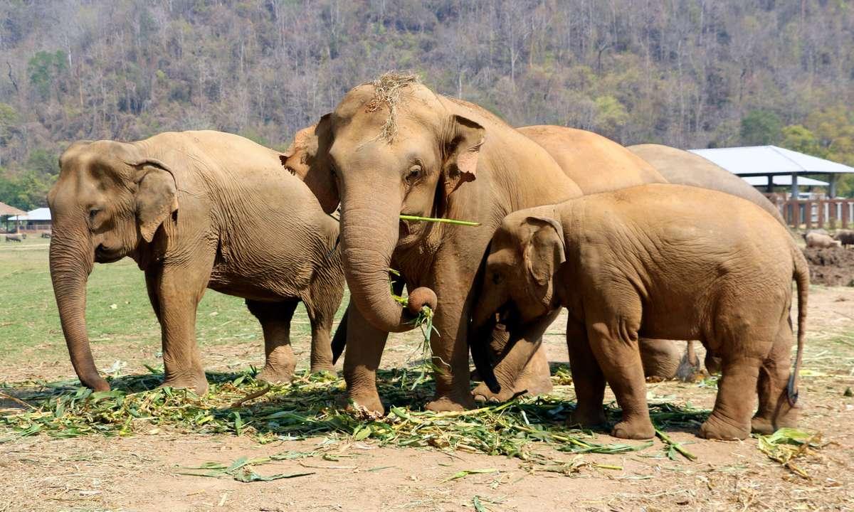 Elephants in Thailand Elephant Nature Park (Dreamstime)