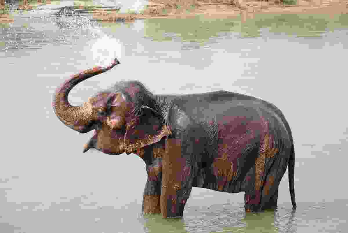 An elephant washing in Chitwan national park, Nepal (Shutterstock)