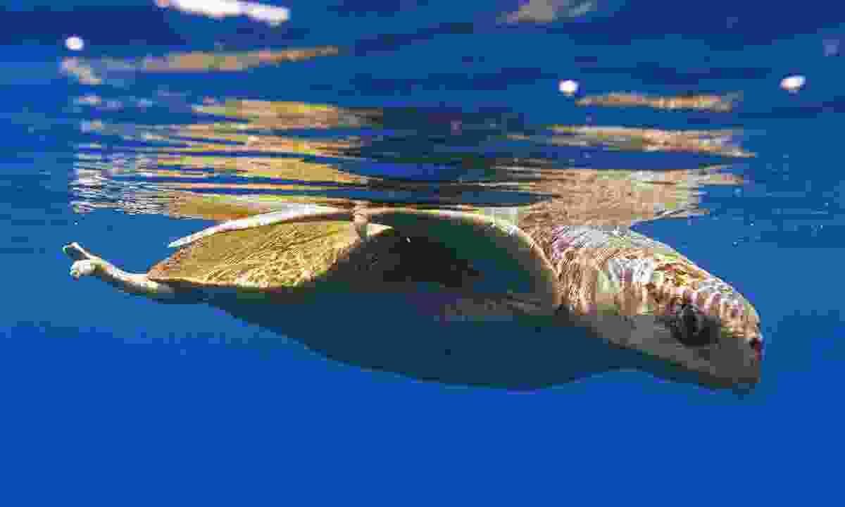 Swim alongside turtles in Cocos Island National Park