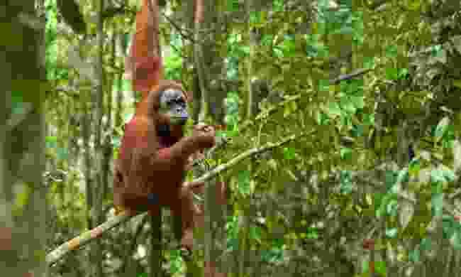 Orangutan in the Sumatran rainforest (Shutterstock)