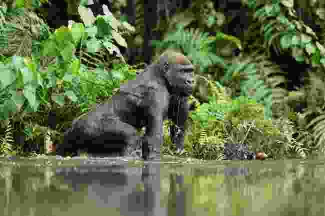 Western lowland male gorilla, Gabon (Shutterstock)
