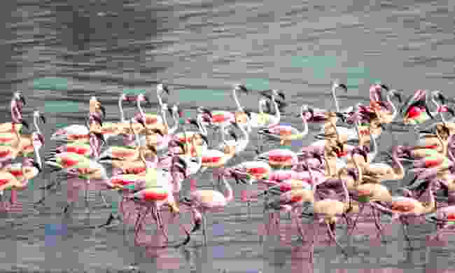 Flamingos have flocked to Mumbai in their thousands (Shutterstock)