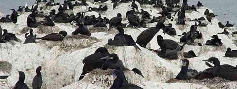 Brandt's Cormorant nesting in Monterey (Franco Folini)