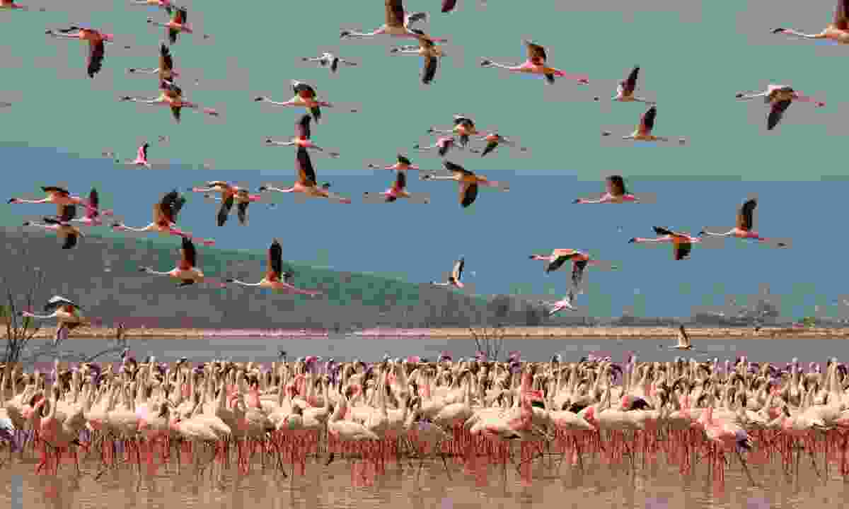 Flamingos on Lake Nakura (Shutterstock)
