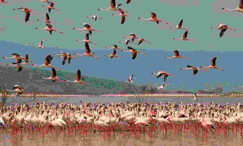 Flamingos on Lake Nakura (Shutterstock)