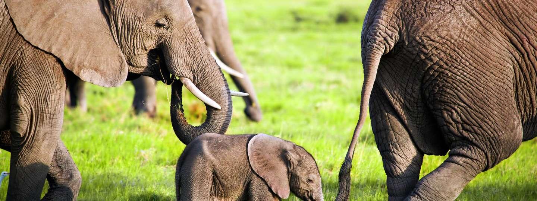 Elephants in Kenya (Dreamstime)