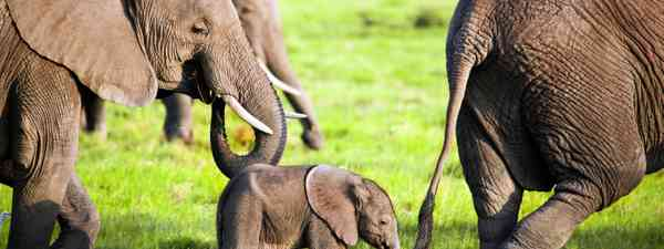 Elephants in Kenya (Dreamstime)