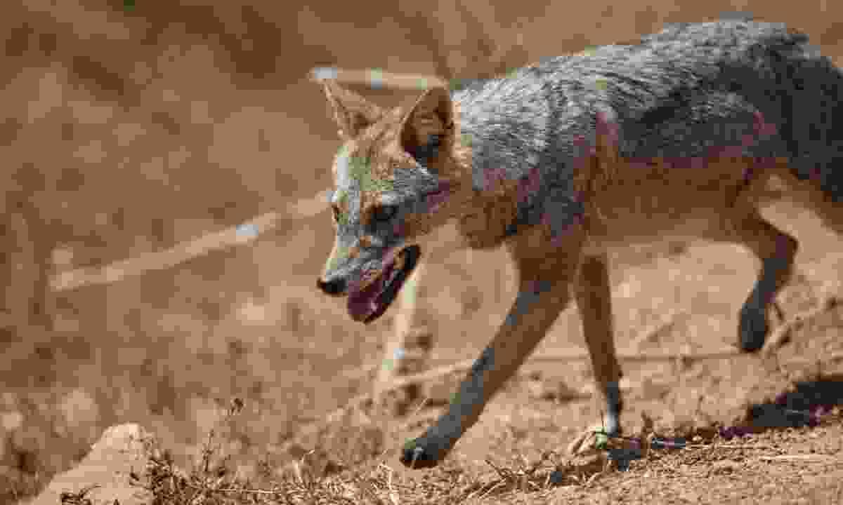 A jackal creeps through Yala National Park (Gehan de Silva Wijeyeratne)