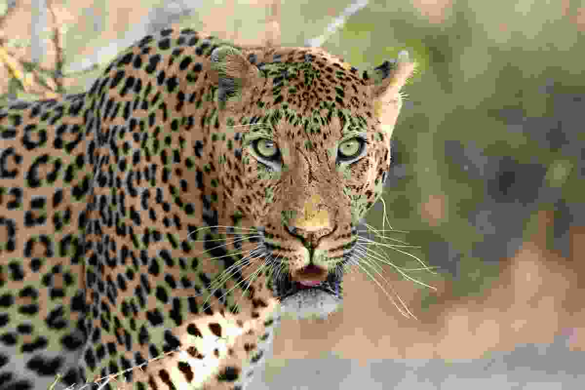 Kruger National Park, South Africa is a must-visit for leopard sightings, say Jonathan and Angela (Dreamstime)