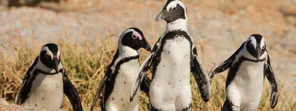 South Africa's penguins go for a stroll (Shutterstock)