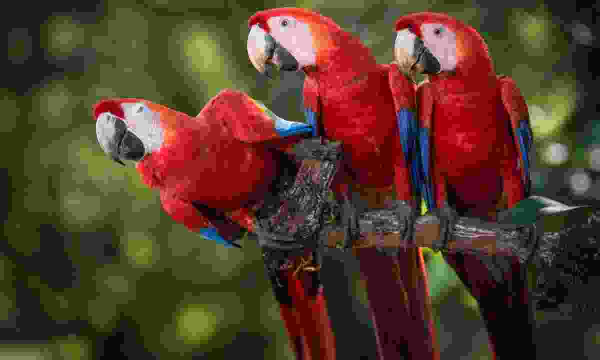 Carara National Park's scarlet macaws are a big draw