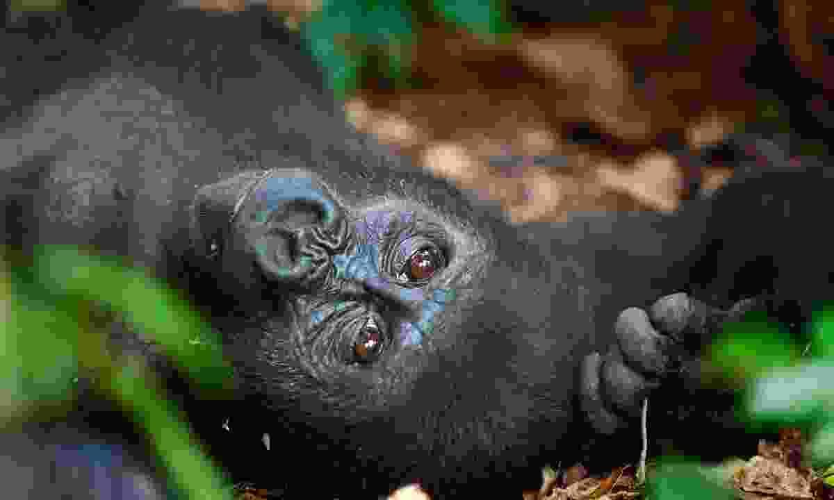 Western lowland female gorilla, Central African Republic (Shutterstock)