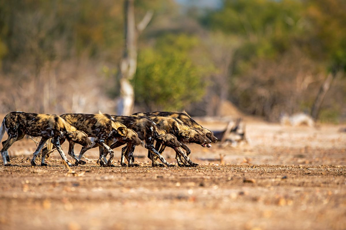 Leader of the Pack: Following Painted Wolves in Mana Pools NP, Zimbabwe