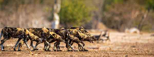 African wild dogs, or 'painted wolves' (Will Whitford)