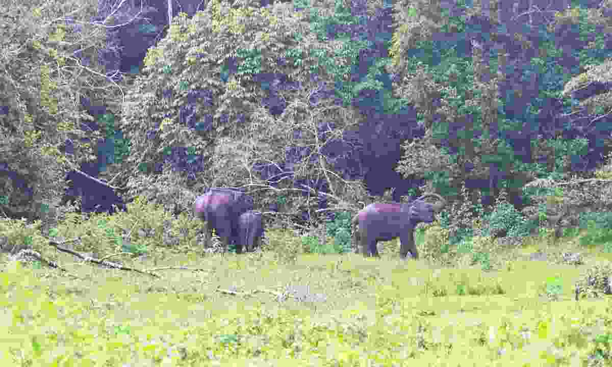 Family of Indian elephants grazing in Periyar National Park (Dreamstime)