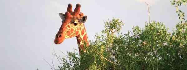 Giraffe in Samburu NP, Kenya (Graeme Green)