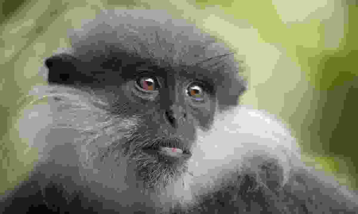 Purple-faced leaf monkey (Gehan de Silva Wijeyeratne)