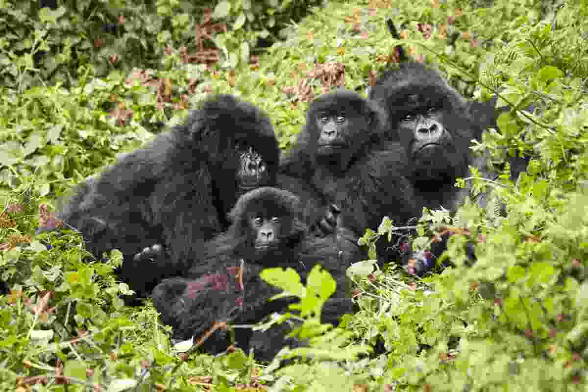 Family of mountain gorillas, Volcanoes National Park, Rwanda (Shutterstock)
