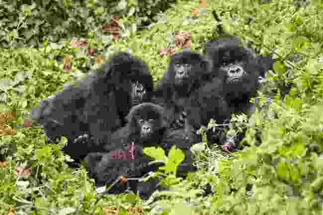Family of mountain gorillas, Volcanoes National Park, Rwanda (Shutterstock)
