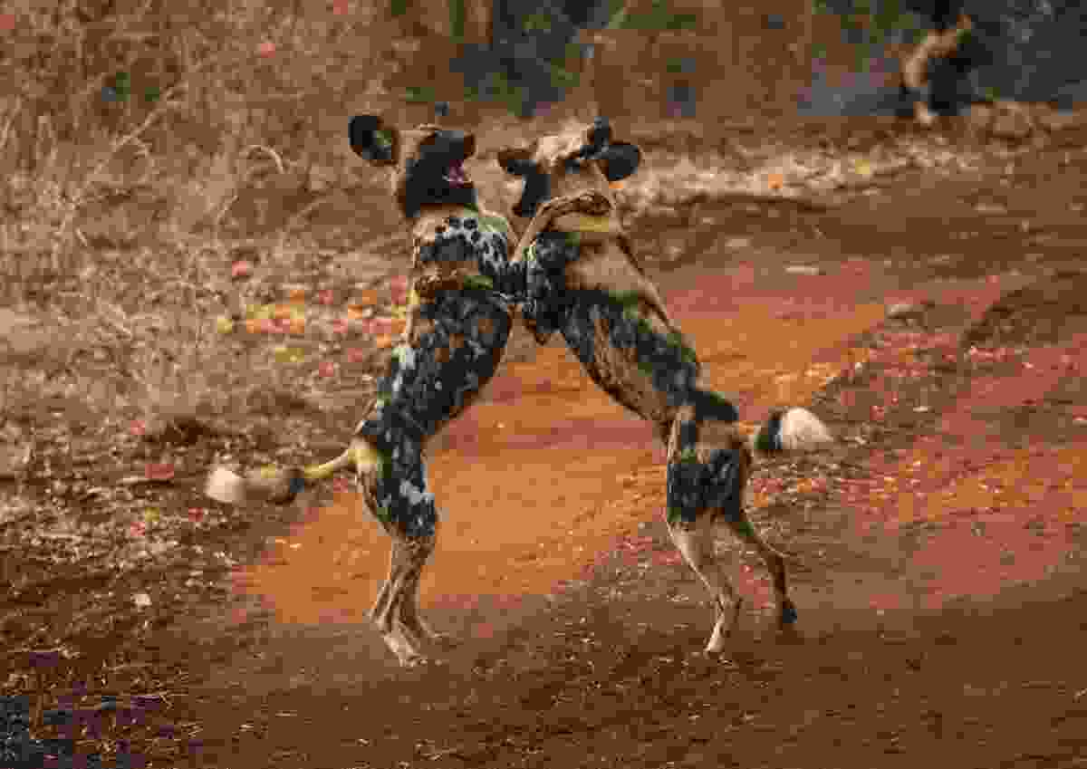 Painted wolves playing (Shutterstock)