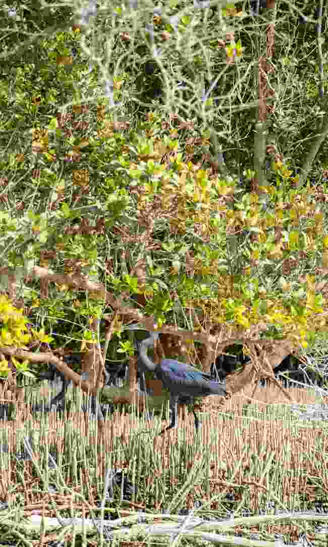 A grey heron hunts in brackish water (Phoebe Smith)