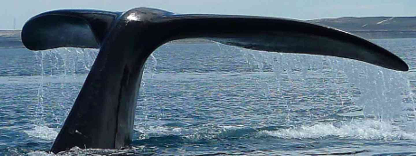 A southern right whale off the coast of South Africa (Edith Schreurs)