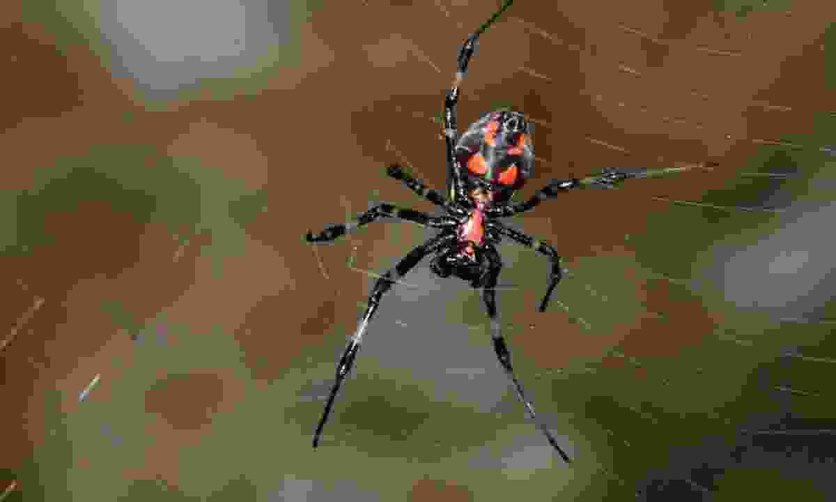 Kithulgala spider (Gehan de Silva Wijeyeratne)