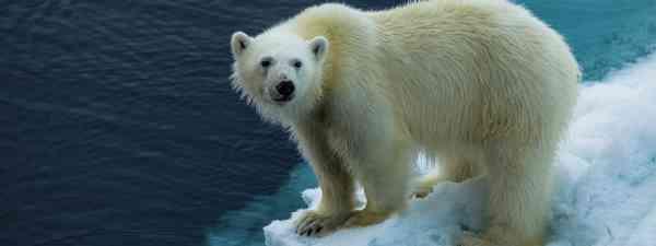 Polars in Spitsbergen (Sam Cimmin)