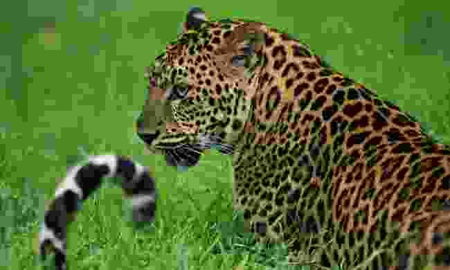 Leopard, Huai Kha Khaeng (Shutterstock)