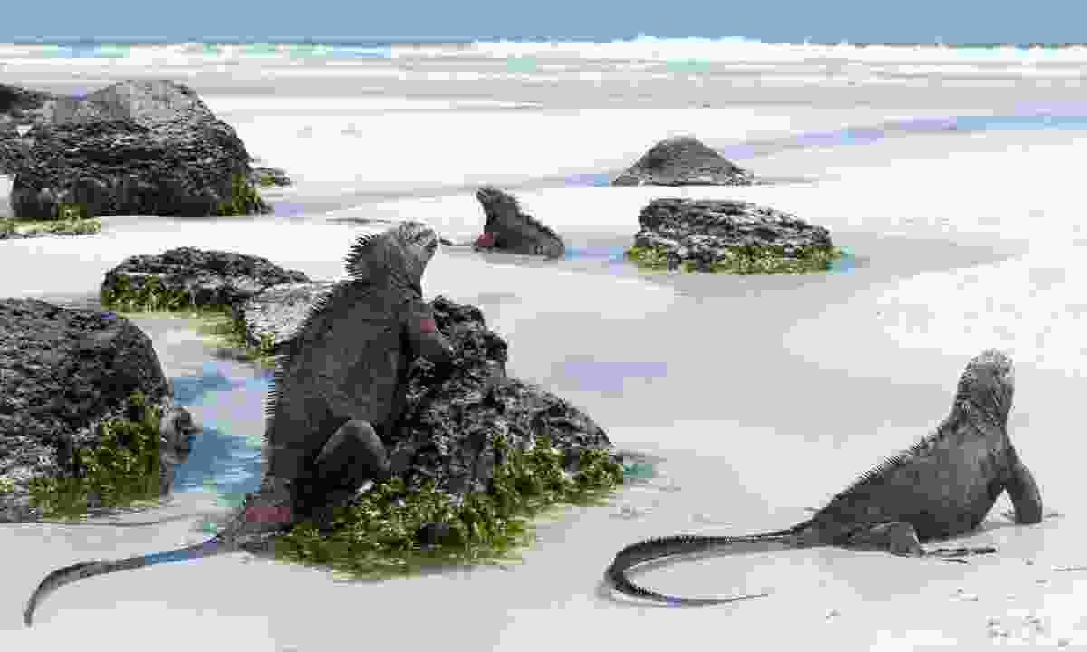 Marine iguanas, Galápagos (Shutterstock)