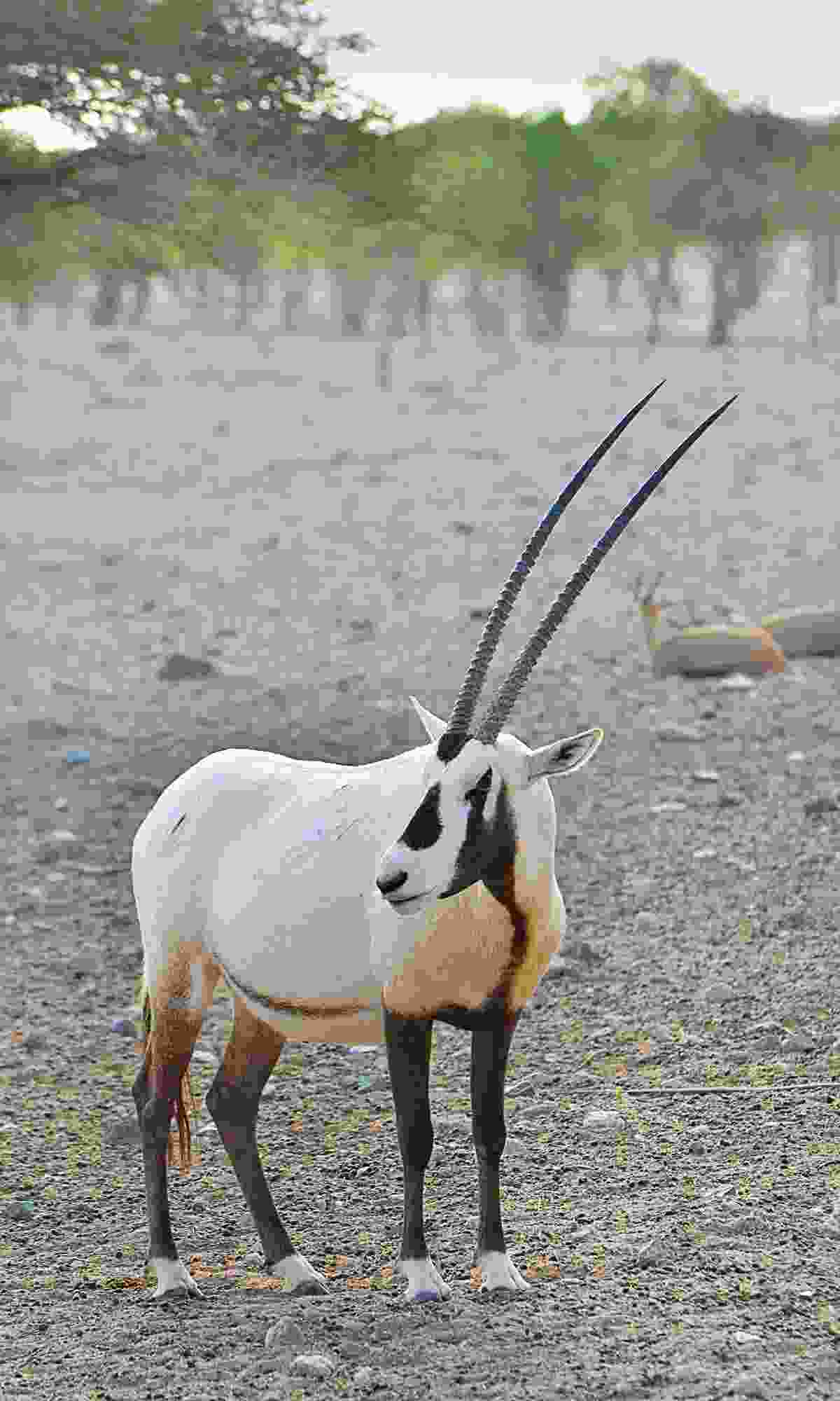 One of the island's 500-plus Arabian oryx (Phoebe Smith)