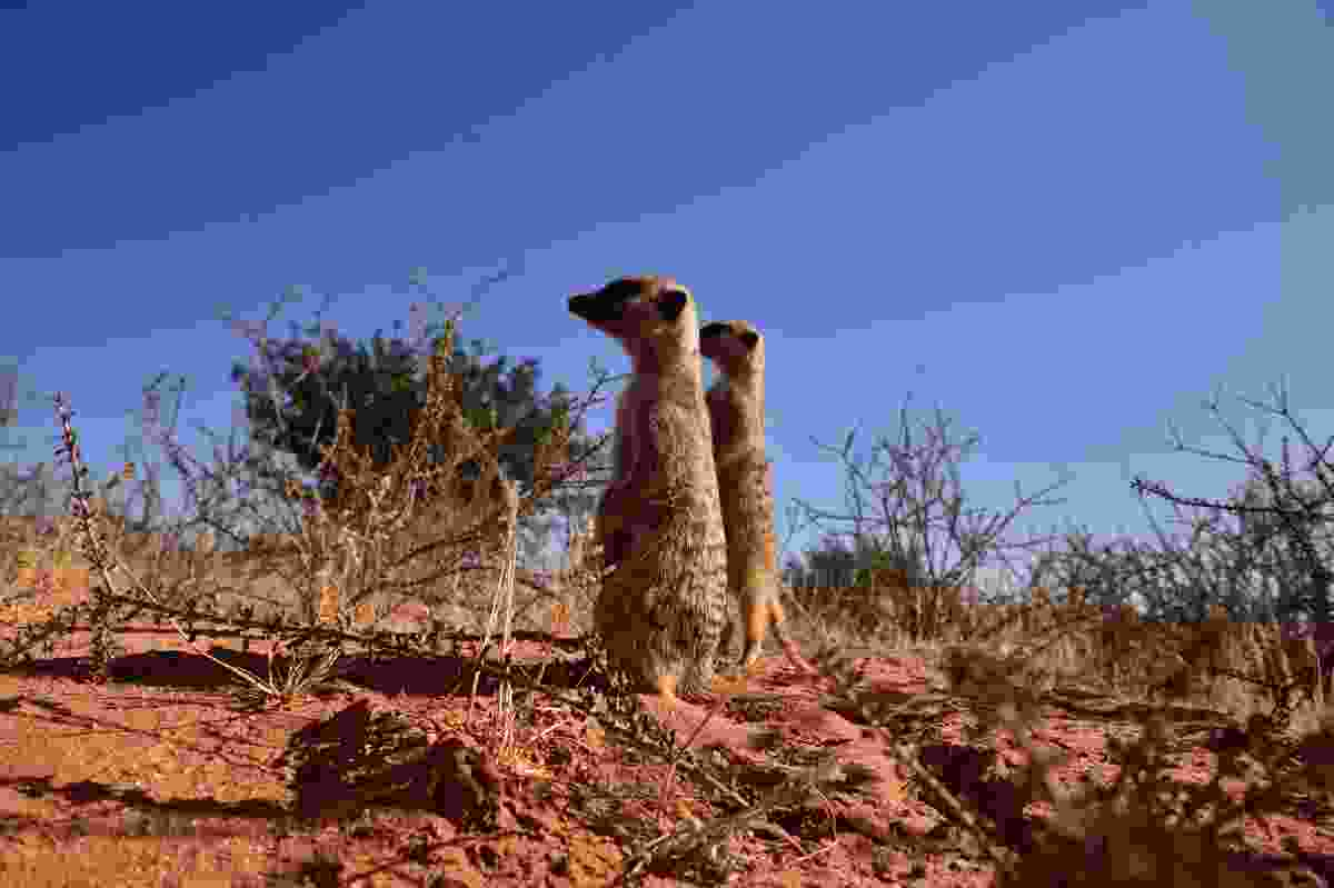 Meerkats (South African Tourism)