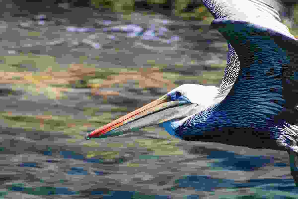 Pelican in flight off the coast of Baja California, Mexico (Graeme Green)