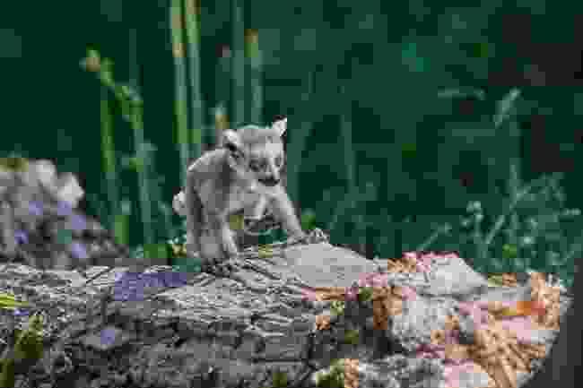 Baby lemur (Shutterstock)