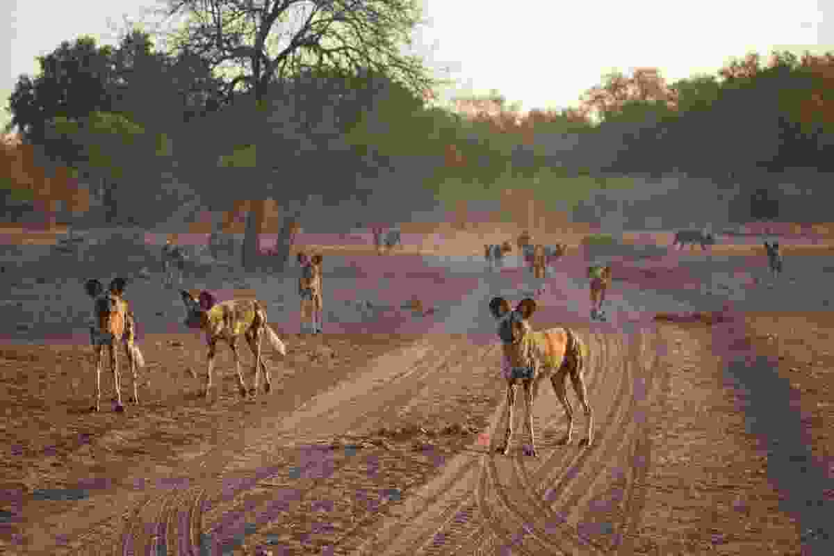 African wild dogs in Mana Pools (Shutterstock)