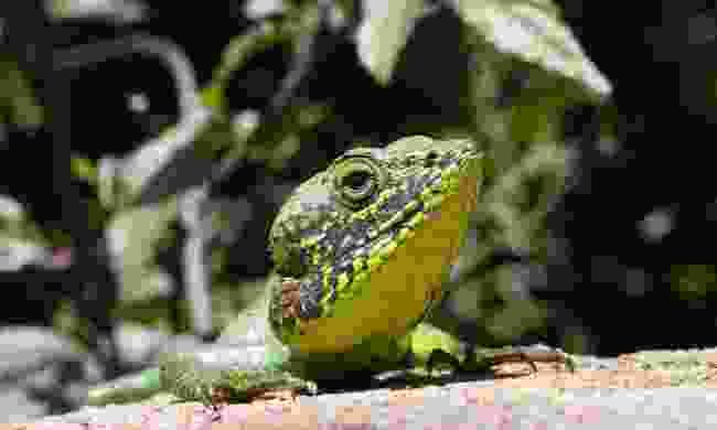 Black-lipped lizard (Gehan de Silva Wijeyeratne)