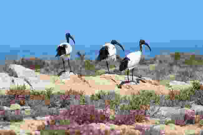 A congregation of African sacred ibis by the Diamond Coast (Nora Wallaya)