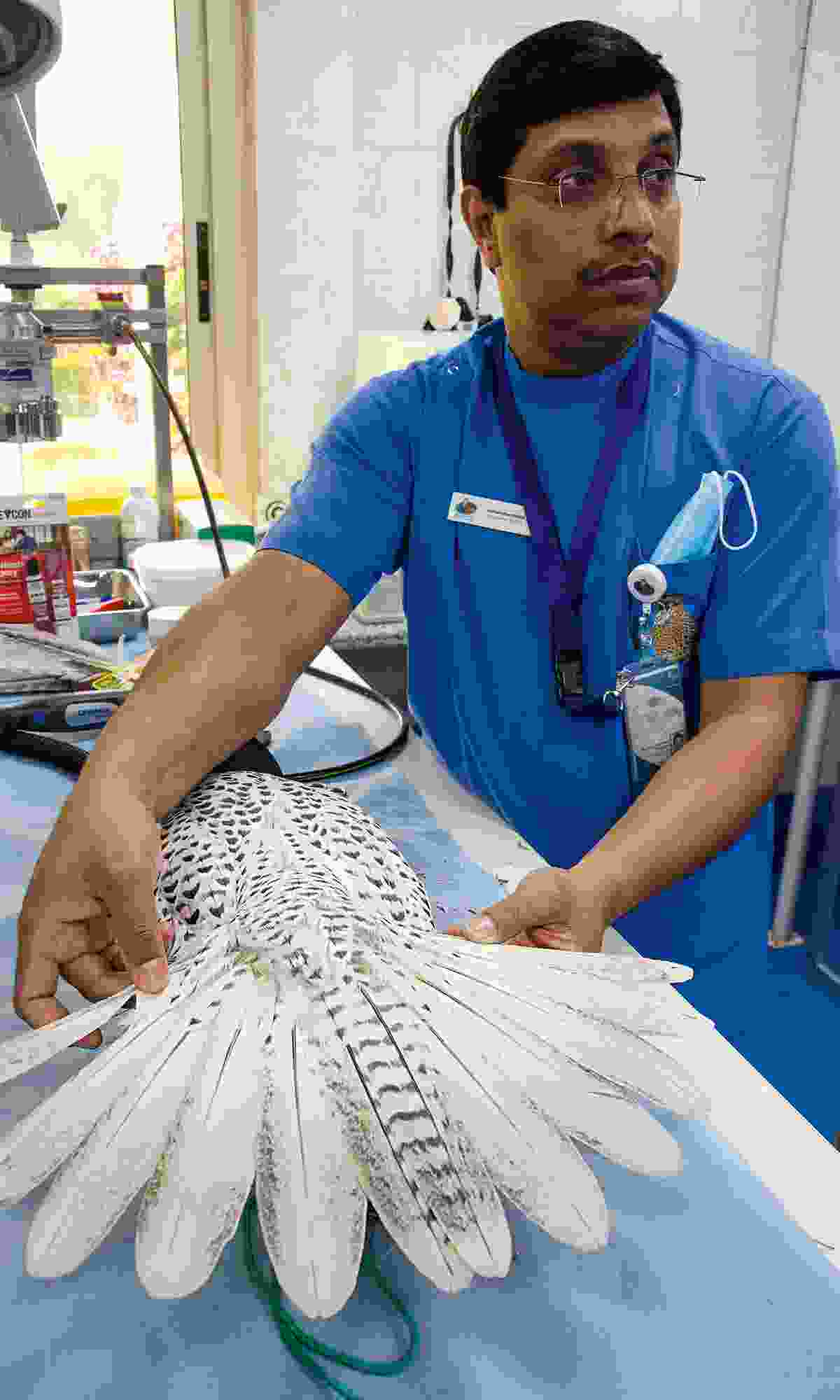 Showing feather repair at the Falcon Hospital (Phoebe Smith)