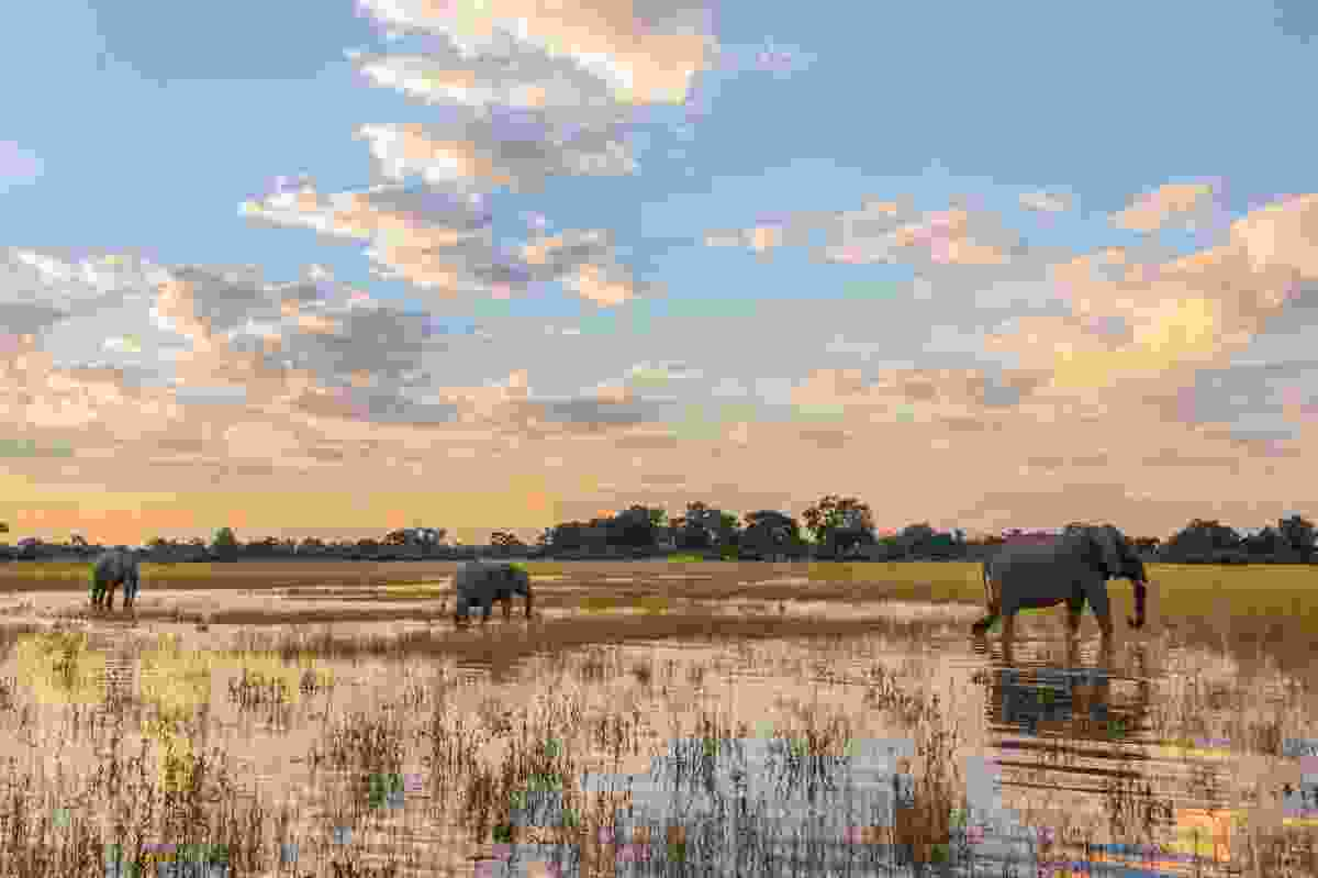 Elephants on the Okavango Delta (Frans Lanting)