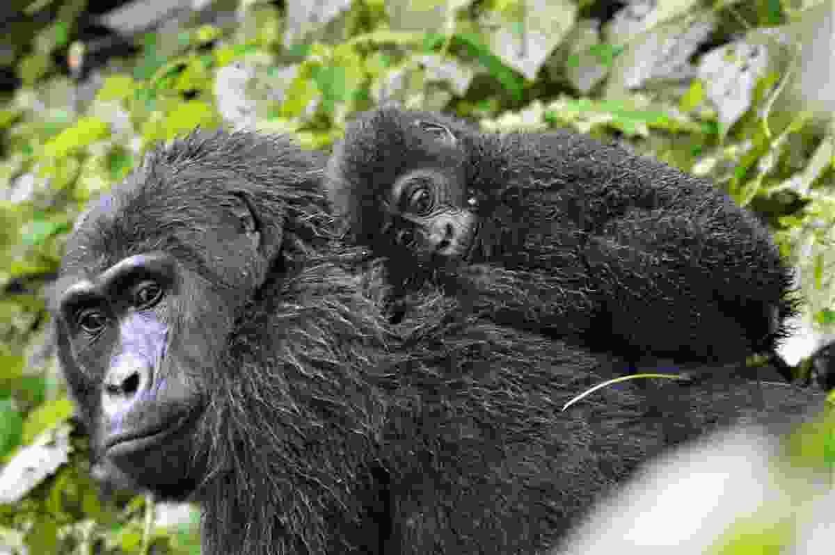 Mountain gorilla, Bwindi, Uganda (Shutterstock)