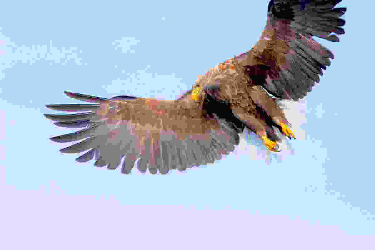 White-tailed sea eagle hovering above the ocean off the coast of Flatanger, Norway (Graeme Green)